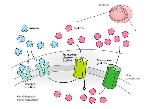Mechanizm dzialania insuliny